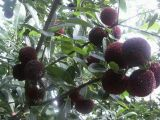 优质杨梅品种黑瑞林