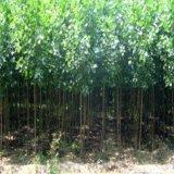 供應樹木早成材一諾植物調節劑快速增粗效果好楊樹增粗劑