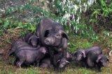 香豬引種,從江香豬價格
