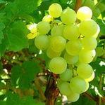 阿根廷进口 厂家直销白葡萄浓缩汁原浆 原料  酵素原料饮料厂原料
