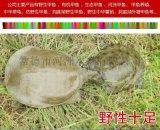 【河洲甲鱼】上海中华鳖苗养殖|野生甲鱼批发