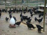 出售五黑鸡脱温鸡苗 绿壳种蛋 绿壳鸡苗