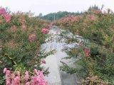 崇州紫薇園景區浪漫人造霧景觀  紫薇花與人造霧景觀的創意結合