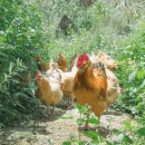 达济月子 老母鸡农家散养土鸡 正宗月子鸡走地鸡新鲜三黄鸡散养鸡