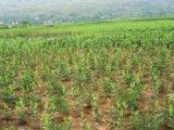 湖南中药材种植基地仿野生态种植园