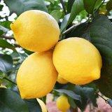 名贡村 四川安岳柠檬