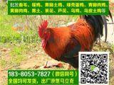 四川眉山贵妃鸡多少钱,贵妃鸡批发基地,空运,抗病能力强,98%的存活率