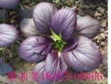 紫油菜 彩色观赏食用油菜种子
