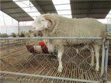 小尾寒羊容易得哪些病 小尾寒羊疾病治疗方法