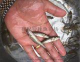 佛山 南海 银鳕鱼苗 供应商 养殖厂家