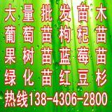 大量批发出售蓝莓苗,优质占地蓝莓苗