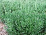 薰衣草种苗