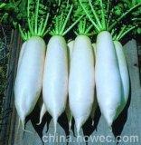 韩国亚新白-白萝卜种子