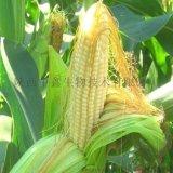 供應玉米須提取物,玉米須10:1水提比例提取物 中鑫生物品牌保障