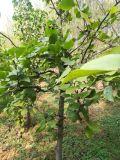 梨树小苗,梨树种植基地,梨树批发