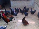 华绿生态绿壳蛋鸡苗天然养殖 无污染