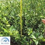 柑橘苗木大分一号,果实糖度高,易丰产,浙江优良柑橘品种