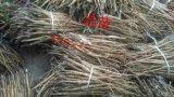 牡丹苗价格 油用牡丹苗 种植牡丹