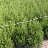 供应1米柏枝绿化树苗报价信息