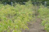 彩叶丝棉木特征, 彩叶丝棉木种子, 红枫种苗