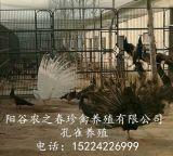 阳谷农之春出售孔雀苗