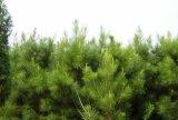 40-60公分油松树苗