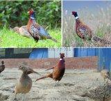 天然散養雉雞 七彩野山雞