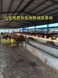纯种肉牛养殖,提供养殖技术,专业畜牧师上门指导