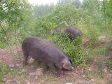 散养生态黑猪健康好味道黑猪肉登封市占全养殖专业合作社