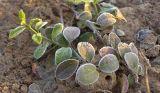 冬红北海道黄杨多少钱红枫种苗冬红北海道黄杨