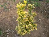 彩叶北海道黄杨预定,彩叶北海道黄杨图片,红枫种苗