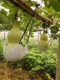 10粒种植基地专供半米-1米巨型葫芦种子天然观赏特大亚腰葫芦种子