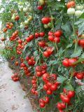荷蘭佳粉-抗線蟲番茄種子