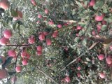 红嘎啦苹果产区价格