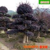 造形古桩红花继木 古桩形态优美 规格齐全 专业供应绿化苗木