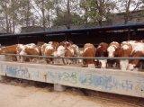 雲巖區哪有西門塔爾牛養殖場?小牛犢多少錢一頭?