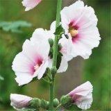 药蜀葵提取物10:1纯天然提取