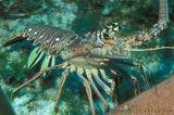 古巴进口新鲜活冻小青龙虾冷冻花龙古巴龙龙虾澳洲锦绣大龙虾 青龙 龙虾仔