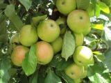 嘎啦三年生150公分高苹果苗大量批发