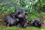 貴陽香豬丨凱裏香豬丨從江香豬
