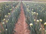 適合貴州的小葉型鋼蔥大蔥種子