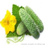 黃瓜提取物 廠家熱銷黃瓜10:1純天然植物提取物 中鑫生物