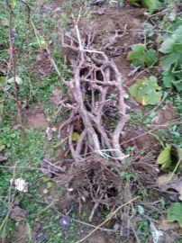 3-5公分占地葡萄树苗