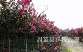 供应西安绿化苗木百日红 园林绿化工程苗木批发紫薇
