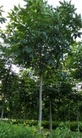 供应西安风景树银杏 西北园林绿化苗木银杏树
