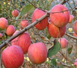 庆阳苹果红富士-一级