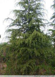 供应西北地区常绿风景树 西安精品雪松基地