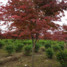 供应西安园林绿化苗木红枫 绿化风景树日本红枫