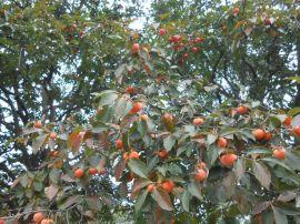 陕西西安柿子树基地,临潼小柿子树销售