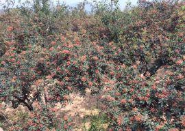 狮子头大红袍无刺花椒苗基地在哪里 韩城农业支柱